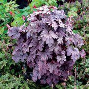 Heucherella Cascade™ Plum Cascade