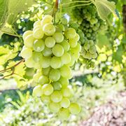 Grape Vitis labrusca Himrod
