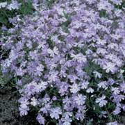 Phlox Oakington Blue Eyes  - Pack of 6