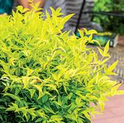 Nandina Lemon-Lime