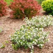 Aronia Low Scape® Mound image