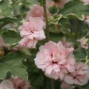 Hibiscus Sugar Tip® image