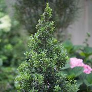 Sky Pointer® Japanese Holly