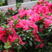 Azalea Bloom-A-Thon® Hot Pink image