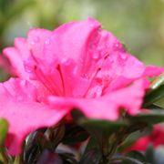 Azalea Bloom-A-Thon® Hot Pink Alternate Image 1