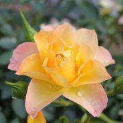 Oso Easy® Italian Ice® Shrub Rose Alternate Image 1