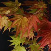Acer 'Autumn Moon' image