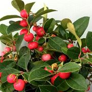 Gaultheria Berry Cascade™ image