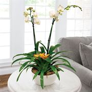 Bromeliad and Moth Orchid in White Container