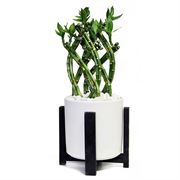 Bamboo in Retro White Container