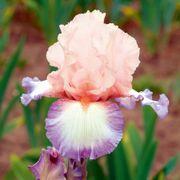 Iris Poesie