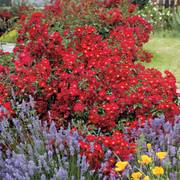 Red Ribbons™ Groundcover Rose Thumb