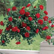 Red Ribbons™ Groundcover Rose Alternate Image 2