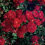 Red Ribbons™ Groundcover Rose Alternate Image 3