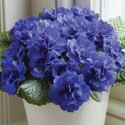 Primula Belarina® Cobalt Blue