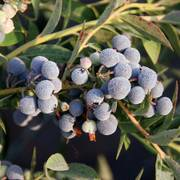 MINI Blues Blueberry