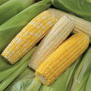 Mirai® Corn Seed Collection