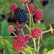 Bushel and Berry™ Baby Cakes™ Blackberry