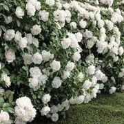 Icecap™ Floribunda Rose