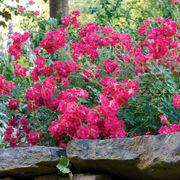 Red Drift® Rose