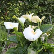 Calla Lily Giant White