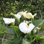 Calla Lily Giant White image