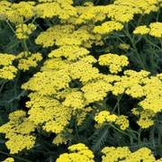 Achillea Sassy Summer Lemon