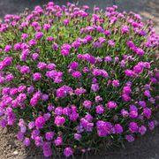 Dianthus Mountain Frost™ Pink PomPom Alternate Image 1