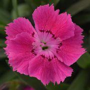Dianthus Mountain Frost™ Rose Bouquet
