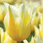 Tulip Budlight
