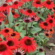 Echinacea Sombrero® Sangrita Red Alternate Image 1