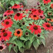 Echinacea Sombrero® Sangrita Red Alternate Image 2