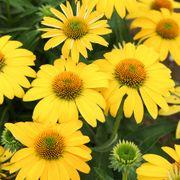 Echinacea Sombrero® Lemon Yellow Improved Alternate Image 1