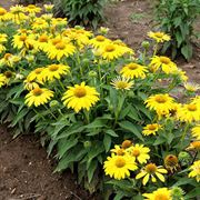 Echinacea Sombrero® Lemon Yellow Improved Alternate Image 2