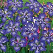 Iris Siberica I See Stars