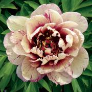 Paeonia Itoh 'All That Jazz' image