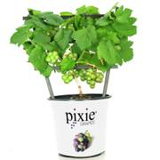 White Pixie™ Patio Grape