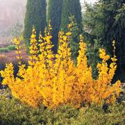 Forsythia Magical® Gold image