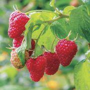 Raspberry Caroline