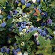 Bushel & Berry™ Jelly Bean®