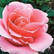Bewitched Hybrid Tea Rose