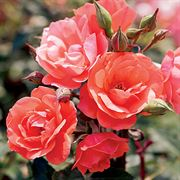 Coral Knock Out® Shrub Rose