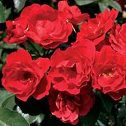 Double Knock Out® Shrub Rose
