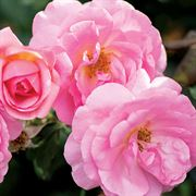 Peachy Knock Out® Shrub Rose