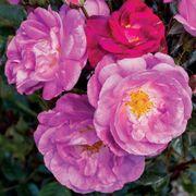 Ultra Violet Simplicity Rose