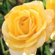 Honey Bee Kind Grandiflora Rose