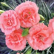 Dianthus SCENT FRIST® Tall Romance