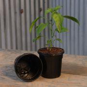 Nursery Pot Black - Quart (Pack of 12) Alternate Image 1