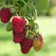 Raspberry Meeker