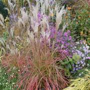 Miscanthus 'Little Miss' image